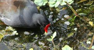 Κοινό πουλί gallinule Φλώριδα ΗΠΑ απόθεμα βίντεο