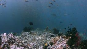 Κοραλλιογενής ύφαλος σε Raja Ampat, Ινδονησία 4k απόθεμα βίντεο