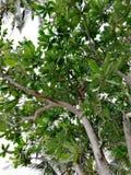 Κορυφή δέντρων του εξωτικού τροπικού δέντρου σε Mindoro, φιλιππινέζικο νησί στοκ εικόνα