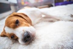 Κουρασμένοι σκυλί ύπνοι λαγωνικών σε ένα άσπρο πάτωμα ταπήτων στοκ φωτογραφία