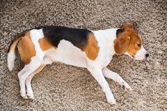 Κουρασμένοι σκυλί ύπνοι λαγωνικών σε ένα πάτωμα ταπήτων στοκ εικόνα με δικαίωμα ελεύθερης χρήσης