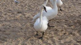 Κοπάδι των κύκνων και seagulls στη θάλασσα, έννοια άγριων ζώων φιλμ μικρού μήκους