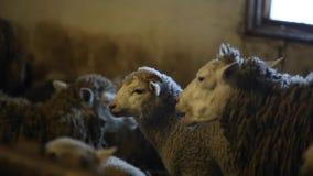 Κοπάδι των sheeps στη σιταποθήκη Μασώντας πρόβατα Βρώμικα καφετιά sheeps απόθεμα βίντεο
