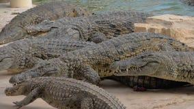 Κροκόδειλοι στο ζωολογικό κήπο Ερπετά που κολυμπούν και που παίρνουν τα τρόφιμα φιλμ μικρού μήκους