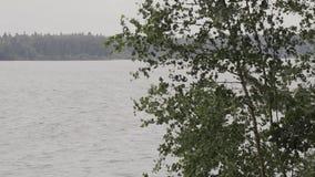 Κρύα τρεξίματα ποταμών βουνών κατά μήκος των δέντρων Στις όχθεις του ποταμού αυξηθείτε τη σημύδα, κωνοφόρα δέντρα όμορφο τοπίο απόθεμα βίντεο