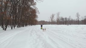 Κρύψιμο Musher πίσω από το έλκηθρο στη φυλή σκυλιών ελκήθρων στο χιόνι το χειμώνα φιλμ μικρού μήκους