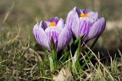 Κρόκοι τα πρώτα λουλούδια στοκ φωτογραφίες