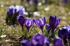Κρόκοι τα πρώτα λουλούδια στοκ εικόνες με δικαίωμα ελεύθερης χρήσης