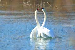 Κύκνοι στην ερωτοτροπία στη λίμνη στοκ φωτογραφίες
