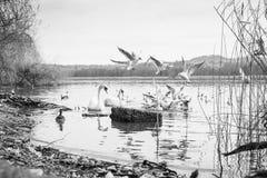 Κύκνος και πουλιά στοκ φωτογραφίες με δικαίωμα ελεύθερης χρήσης