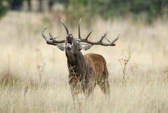Κόκκινα ελάφια, Deers, elaphus Cervus, αρσενικό ελάφι, κόκκινος βρυχηθμός ελαφιών στοκ φωτογραφίες
