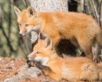 Κόκκινα κουτάβια αλεπούδων στα δασικά περίχωρά τους στοκ εικόνες με δικαίωμα ελεύθερης χρήσης