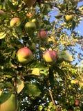Κόκκινα μήλα στον κλάδο δέντρων μηλιάς στοκ εικόνες