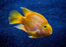 Κόκκινα ψάρια ενυδρείων παπαγάλων στο μπλε νερό στοκ φωτογραφίες