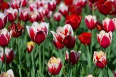 Κόκκινες και άσπρες τουλίπες την ηλιόλουστη θερινή ημέρα στοκ εικόνα με δικαίωμα ελεύθερης χρήσης