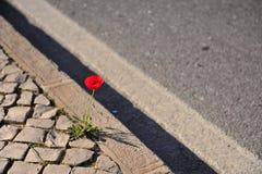 Κόκκινη ανάπτυξη λουλουδιών παπαρουνών στο δρόμο στοκ εικόνες με δικαίωμα ελεύθερης χρήσης