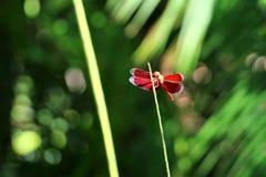 Κόκκινη λιβελλούλη - Μπαλί Ινδονησία Ασία στοκ εικόνα