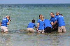 Κόκκινη χελώνα θάλασσας ηλιθίων παλίρροιας που απελευθερώνεται από το ενυδρείο της Φλώριδας τον Αύγουστο του 2017 στοκ εικόνες με δικαίωμα ελεύθερης χρήσης
