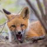 Κόκκινο κουτάβι αλεπούδων που κουράζεται από το χασμουρητό παιχνιδιού στοκ φωτογραφίες