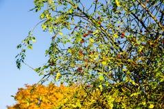 κόκκινο μούρων φθινοπώρο&upsilo στοκ φωτογραφία με δικαίωμα ελεύθερης χρήσης