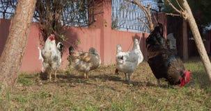 Κόκκορας με τις κότες σε έναν χορτοτάπητα απόθεμα βίντεο