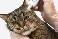 Κτηνιατρική κλινική Μετρημένη γάτα θερμοκρασία Ένα ηλεκτρονικό θερμόμετρο παρεμβάλλεται στο αυτί διάστημα αντιγράφων στοκ φωτογραφία