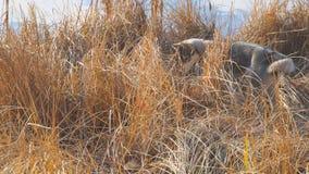 Κυνήγια της δυτικής σιβηρικά Λάικα στην ξηρά χλόη φιλμ μικρού μήκους