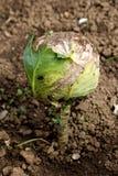 Λάχανο ή διευθυνμένη φυλλώδης πράσινη ετήσια φυτική συγκομιδή λάχανων ήδη που διαμορφώνεται πλήρως στο κεφάλι λάχανων με τα μερικ στοκ εικόνες