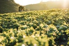 Λάχανο στο δροσερό ηλιοβασίλεμα περιοχών μεγάλου υψομέτρου στοκ φωτογραφία