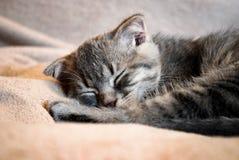 Λίγος σκωτσέζικος ύπνος γατακιών πτυχών στο κρεβάτι στοκ φωτογραφία με δικαίωμα ελεύθερης χρήσης