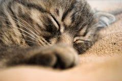 Λίγος σκωτσέζικος ύπνος γατακιών πτυχών στο κρεβάτι στοκ εικόνες