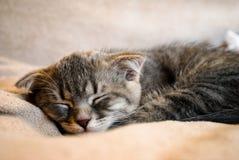 Λίγος σκωτσέζικος ύπνος γατακιών πτυχών στο κρεβάτι στοκ εικόνα