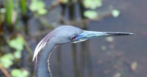 Λίγο μπλε κεφάλι πουλιών ερωδιών Φλώριδα ΗΠΑ φιλμ μικρού μήκους