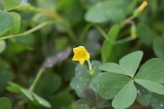 Λίγο όμορφο κίτρινο λουλούδι στοκ εικόνες