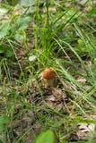 Λίγο boletus πορτοκαλής-ΚΑΠ στη δασική χλόη στο δάσος στοκ εικόνα με δικαίωμα ελεύθερης χρήσης