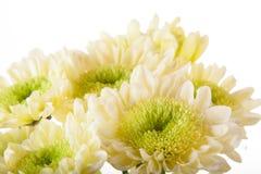 Λεπτομέρεια astra φθινοπώρου στοκ εικόνα με δικαίωμα ελεύθερης χρήσης