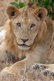 Λιοντάρι που βάζει στα λιβάδια στο Masai Mara, Κένυα Αφρική στοκ εικόνες