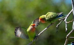 Λογομαχία δύο lovebirds σε ένα δέντρο στοκ φωτογραφίες με δικαίωμα ελεύθερης χρήσης