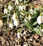 Λουλούδια άνοιξη snowdrop που ανθίζουν στην ηλιόλουστη ημέρα στοκ φωτογραφία