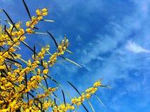 Λουλούδια και μπλε ουρανός Mimosa στοκ εικόνες