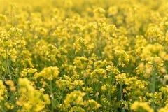 Λουλούδια μουστάρδας στοκ εικόνα με δικαίωμα ελεύθερης χρήσης