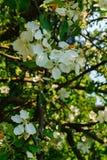 Λουλούδια του μήλου σε έναν κλάδο ενάντια σε έναν μπλε ουρανό πρώιμη άνοιξη στοκ φωτογραφίες