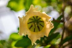 Λουλούδια Brugmansia σαλπίγγων του κίτρινου αγγέλου suaveolens στοκ εικόνα με δικαίωμα ελεύθερης χρήσης