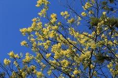 Λουλούδι ακακιών στοκ φωτογραφία με δικαίωμα ελεύθερης χρήσης