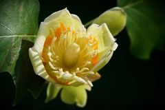 Λουλούδι δέντρων τουλιπών στοκ εικόνες