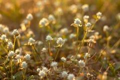 Λουλούδι της χλόης στοκ εικόνες