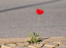 Λουλούδι παπαρουνών στο δρόμο ασφάλτου στοκ εικόνες