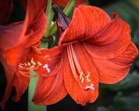 Λουλούδι Amaryllis που ανθίζει, ανθίζοντας βολβός στοκ φωτογραφία