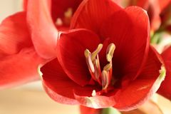 Λουλούδι Amerillis στοκ φωτογραφία