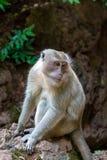 Λυπημένος γούνινος πίθηκος που ζητά τα τρόφιμα, Ταϊλάνδη στοκ φωτογραφίες με δικαίωμα ελεύθερης χρήσης